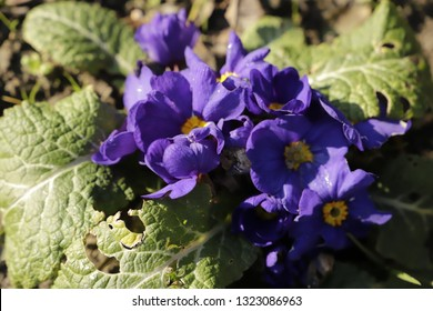 Blue yellow primroses a real springflower