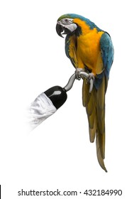 Blue-and-gold Macaw perched on a pirate hook, isolated on white