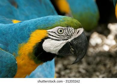 Blue-and-yellow Ara