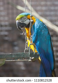 Blue-and-yellow (blue-and-gold ) macaw in the Moscow Zoo