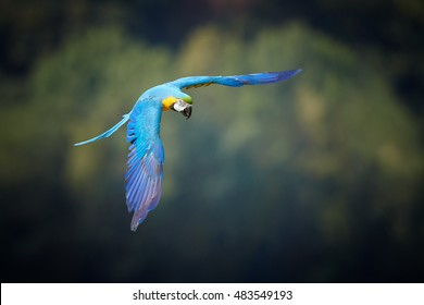 Blue-and-yellow macaw, Ara ararauna, big  blue and yellow parrot, isolated amazonian bird flying against dark green rainforest with outstretched wings. Direct view. Pantanal, Brazil.