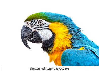 Blue-and-yellow macaw (Ara ararauna) in front of white background