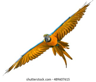 Blue-and-yellow macaw, Ara ararauna, isolated on white background, flying directly at camera with outstretched wings.
