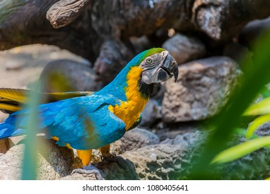 The blue-and-yellow macaw (Ara ararauna), also known as the blue-and-gold macaw.This beautiful bird from South america