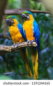 blue-and-yellow macaw, Ara ararauna also known as blue-and-gold macaw