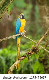 Blue-and-yellow Macaw - Ara ararauna, large beautiful colored parrot from South America forests and woodlands.