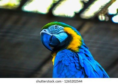 Blue-and-yellow macaw or blue-and-gold macaw, Ara ararauna, bird of the Psittacidae family and one of the most famous parrots of the world