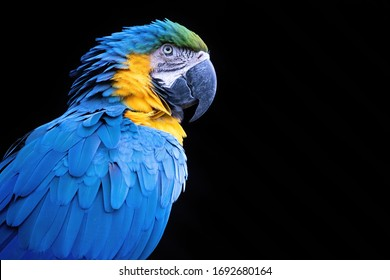 Blue-and-yellow Macaw: close up picture isolated on black background.