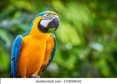 Blue-and-yellow macaw closeup (Ara ararauna), exotic bird