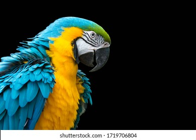 Blue-and-yellow macaw isolated on black (Ara ararauna)