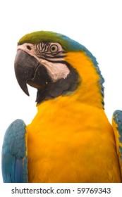 Blue-and-yellow Macaw isolated on white - Ara ararauna