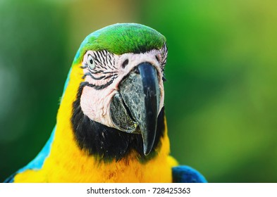 Blue-and-yellow macaw known as Arara-caninde in Brazil. Macaw with blue wings and yellow belly. Beautiful wild animal from Pantanal, Brazil.