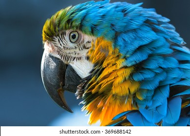 Blue-and-yellow macaw (lat. Ara ararauna) close-up