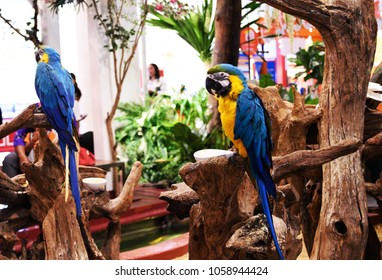 Blue-and-yellow macaw, Macaw parrot.