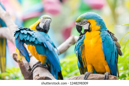 Blue-and-yellow macaw parrot , Large colored parrots living in South America, Mexico