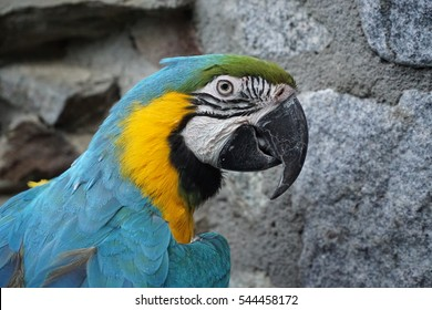 Blue-and-yellow macaw seating at the stone wall