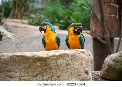 Blue-and-yellow Macaws sitting on a rock