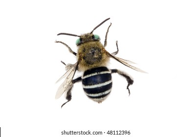 Blue-banded Bee, Amegilla cingulata, Australian native bee, isolated on white