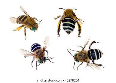 Blue-banded Bee, Amegilla cingulata, Australian native bees isolated on white