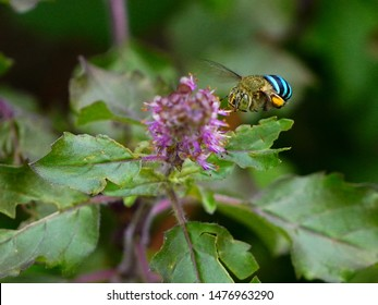 Blue-banded bee (Amegilla cingulata) in flight - approaching holy basil (Ocimum sanctum) flowers.  Entomophily - pollination by insects.