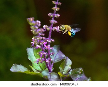 Blue-banded bee approaching basil flowers to collect nectar and pollen. Entomophily - Pollination by insect.