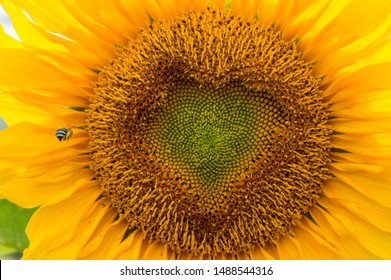 Blue-banded Bee landing on a Sunflower with a heart-shaped center.