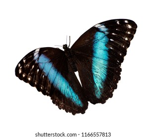 Blue-banded morpho butterfly, Morpho achilles, in flight is isolated on white background. A butterfly has a bright sparkling blue opalescent band on each wing