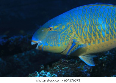 Blue-barred parrotfish (Scarus ghobban) underwater in the tropical coral reef