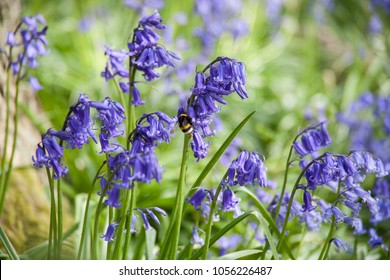 Bluebell with bee. Bluebells are woodland flowers which fill natural woodlands in the UK with spectacular carpets of blue flowers.