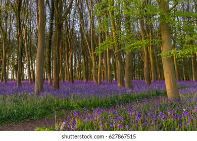 Bluebell Carpet in Ancient woodland at first light
