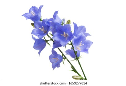 bluebell flower isolated on white background