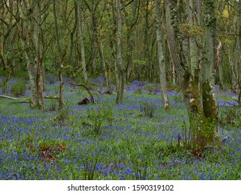 Bluebell Flowers cover the Woodland Floor at Darroch Woods near Blairgowrie on a wet May Afternoon. Perthshire, Scotland.