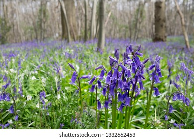 Bluebell flowers in a forest. Low depth of field