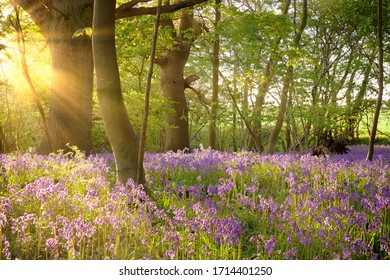 Bluebell landscape under the forest trees with dawn sunlight rising. British wild flowers in spring time.