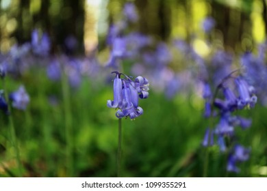 Bluebell in patch of enchanted woodland, other bluebell flowers and trees in soft focus background.