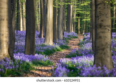 Bluebell path, a nice path between the blooming bluebells in the Halle Forest