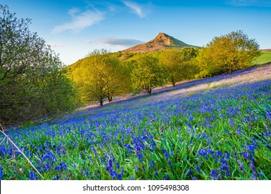 Bluebell Slope and Roseberry Topping, in Newton Wood, a distinctive hill in North Yorkshire, popular with walkers and ramblers