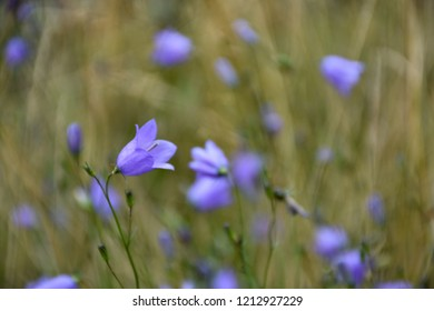 Bluebell summer flower closeup in a green field