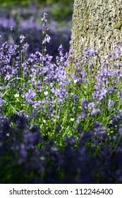 Bluebell wood (Hyacinthoides non-scripta) taken near Blairgowrie, Perthshire, Scotland.