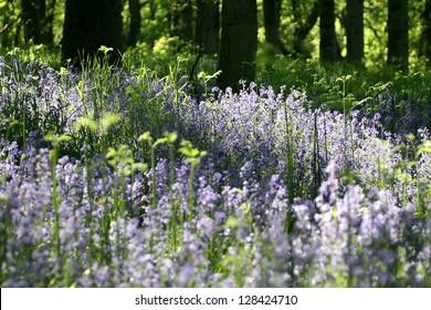 Bluebell Wood  (Hyacinthoides) taken near Blairgowrie, Perthshire, Scotland.