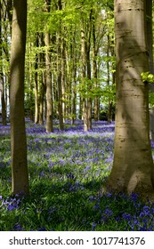 Bluebell wood in May, in Northamptonshire, England