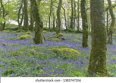 Bluebell Woodland Walk on Dartmoor National Park Devon UK