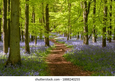 Bluebell woods at Ashridge Estate in the Chilterns, England, UK - Shutterstock ID 1888240255