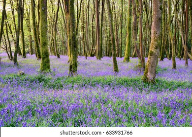 Bluebell woods at Camborne in the Cornwall countryside