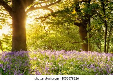 Bluebell woods with golden sunrise lighting up the carpet of flowers in Norfolk UK.