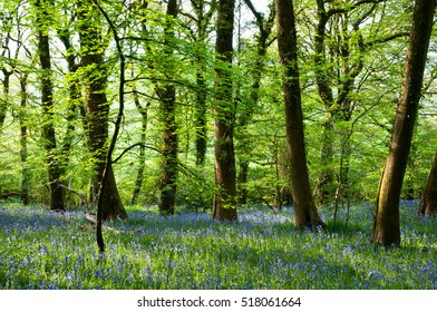Bluebells and Beech trees in spring. Woodland landscape image. Denbury Hill Fort, Devon, United Kingdom.