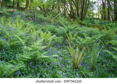 Bluebells in Bigland Woods, Cumbria Coastal Way, Lake District, Cumbria, UK, May 2018