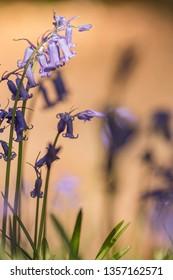 bluebells or boshyacint in nature somewhere in belgium