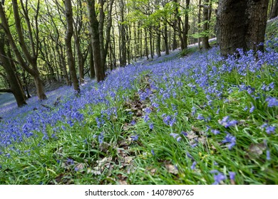 Bluebells in a British wood