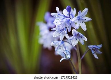 Bluebells in closeup against natural background in woodland